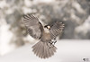 ''Angel 2017!'' Mésangeai du canada- gray jay-Perisoreus canadensis (pascaleforest) Tags: oiseau bird animal winter hiver snow neige nikon nature passion 2017 wild wildlife fauna québec canada foret forest ange angel flying voler
