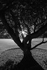 Grounding (the pale side of insomnia) Tags: nature tree branches holmoak