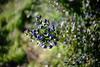 mirto di sardegna (stefano7400) Tags: mirto sardegna flora bacche macchia mediterranea yashica yashinon 32cm 32mm f17 17 eerapid swirl
