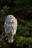 Barred Owl (ayres_leigh) Tags: barred owl nature animal canon whitby bird