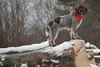 _DSC4971 (sochacki.info) Tags: szyszka griffon wirehaired pointing wpg gundog winter snow hunting dog poland sanok forest walk outside freezing