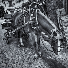 Bored Workhorse (`ARroWCoLT) Tags: workhorse horse cart atarabası adalar istanbul nokia lumia 1020 mobiography ceptelefonu bnw bnwstreet people streetart türkiye türkei turkey street sokak streetphotography outdoor siyahbeyaz art bw blackwhite monochrome blackandwhite arrowcolt