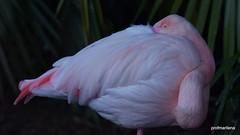 resting (profmarilena) Tags: flamingo pinkbird rest macro