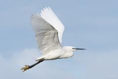 Little egret (Shane Jones) Tags: littleegret egret bird elegant birdinflight wildlife nature nikon d500 200400vr tc14eii