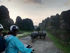 Buffalo Scootcher (shuttersteeein) Tags: waterbuffalo water buffalo vietnam ninhbinh ninh binh scooter motorbike outdoor explore wanderlust iphone karsts jungle southeastasia safety
