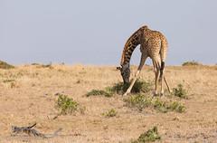 Masai giraffe (mirsasha) Tags: january kenya masaigiraffe 2017 masaimara narokcounty ke