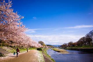 sakura '15 - cherry blossoms #23 (Kamo river, Kyoto)
