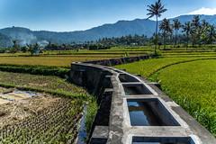 Sawa irrigation (bramgerritsen) Tags: bali mountains tree landscape rice palm irrigation sawa