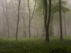 Sometimes Always (Damian_Ward) Tags: wood morning trees summer mist misty fog forest chilterns buckinghamshire foggy bucks beech wendover astonhill thechilterns chilternhills wendoverwoods damianward ©damianward