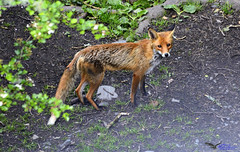 FOX. (spw6156 - Over 5,035,381 Views) Tags: from light copyright this little steve under viaduct iso fox stunner bushes waterhouse appeared 800last