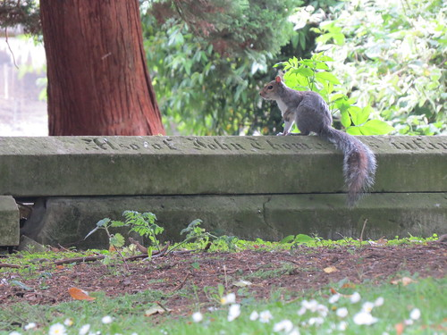 Grey Squirrel on a Gravestone
