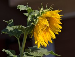 Lone Stand (harefoot1066) Tags: sunflower grasshopper orthoptera shorthornedgrasshopper asteraceae acrididae helianthusannuus caelifera heliantheae schistocerca grasshoppernymph birdgrasshopper birdgrasshoppernymph