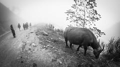 Black Hmong and a cow in the Mist (kitsunekuma) Tags: blackandwhite bw mist black fog cow blackwhite vietnamese village fisheye vietnam viet 8mm sapa hmong samyang canon100d