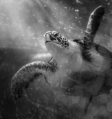 """Swimming Loggerhead (scilit) Tags: loggerhead turtle seaturtle endangered marine animal reptile blackandwhite water bubbles swimming nature underwater """"exoticimage"""" beautiesbeasts ie autofocus exoticimage ruby10 ruby15 ruby20"""