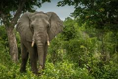 Elephant (rachhouse) Tags: elephant wildlife botswana chobe animalplanet chobenationalpark