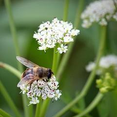 Hoverfly (johnny the cow) Tags: flowers wild wales insect fly european wildlife cymru trust hoverfly montgomeryshire machynlleth mwt dronefly dyfi eristalistenax dyfiospreyproject