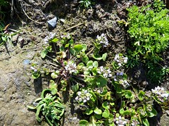 Scurvey Grass (nz_willowherb) Tags: lighthouse see scotland tour visit shetland scurvygrass sumburghhead to go cochleariaofficinalis
