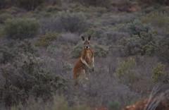 Red kangaroo (CazzJj) Tags: red kangaroo outback brokenhill menindee