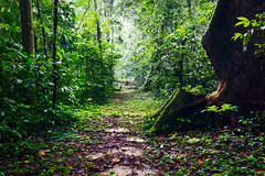 Path In Tropical Rain Fores (Irene Becker) Tags: africa nature rainforest westafrica nigeria crossriver blackafrica crossriverstate nigerianimages nigerianphotos imagesofnigeria akampa nationalparkcrossriverstate