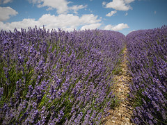 Lavender - Hitchin Lavender Farm (davepickettphotographer) Tags: uk flowers summer sky field unitedkingdom farm lavender olympus rows gb hertfordshire hitchin olympuscamera ickleford hitchinlavenderfarm