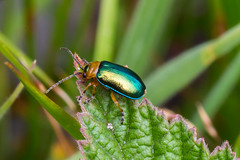 Leaf Beetle (Derek.P.) Tags: insect insects invertebrate invertebrates pottericcarr potteric nature naturalworld chrysomelidae leafbeetle leafbeetles beetle beetles coleoptera sermylassahalensis käfer coléoptères coleotteri escarabajos besouros 甲虫 甲蟲 カブトムシ жуки insekten insectes insetti insectos insetos 昆虫 昆蟲 насекомое tamronspaf90mmf28di macro