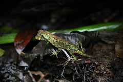 Male Pug Nosed Anole (Anolis capito) (daniel_hinrichsen) Tags: park male green animal forest rainforest small pug lizard national anole blancas primary herp piedras capito anolis nased herptology
