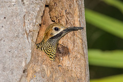 Fernandina´s Flicker (Colaptes fernandinae), male (Hoppy1951) Tags: male cu cuba aves animalia matanzas playalarga colaptes chordata vertebrata piciformes picidae fernandinasflicker taxonomy:class=aves soplillar taxonomy:kingdom=animalia taxonomy:phylum=chordata taxonomy:subphylum=vertebrata taxonomy:family=picidae taxonomy:genus=colaptes taxonomy:order=piciformes colaptesfernandinae taxonomy:binomial=colaptesfernandinae fefl allanhopkins hoppy1951 carpinterochurroso taxonomy:species=fernandinae taxonomy:common=fernandinasflicker taxonomy:common=fefl fernandina´sflicker
