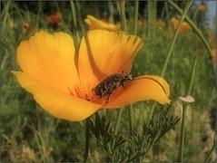 Summertime (Tölgyesi Kata) Tags: botanikuskert botanicalgarden debotkert debrecen withcanonpowershota620 debrecenibotanikuskert debreceniegyetembotanikuskert summer kaliforniaikakukkmák eschscholziacalifornica californiapoppy goldenpoppy californiasunlight cupofgold macro nyár bogár bug insect rovar tropinotahirta bundásbogár