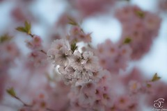 Purely (BeNowMeHere) Tags: ifttt 500px trip benowmehere blossoms cherry cherryblossoms flowers lausanne nature purely sakura switzerland trees spring travel