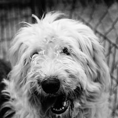 Riley31Dec1600008-Edit.jpg (fredstrobel) Tags: dogs pawsatanta phototype atlanta blackandwhite usa animals ga pets places pawsdogs decatur georgia unitedstates us
