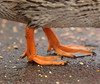 Standing on seeds .... (Barry Miller _ Bazz) Tags: ducks feet orange seeds canon5dmark3 70200mmf28l victoriapark widnes