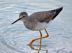 Lesser Yellowlegs (Stan in FL) Tags: tringa flavipes lesser yellowlegs birds birding water fowl florida fl sumter county nikon nature wildlife tamron