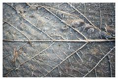Fossil (leo.roos) Tags: leaf leaves blad bladeren frost vorst veins nerven meyertrioplan1728 1939 cmount cinelens movie nex6 nex dayprime day17 dayprime2017 dyxum challenge prime primes lens lenses lenzen brandpuntsafstand focallength fl darosa leoroos