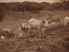 Maremma, Italy (RoccerSoccerDave) Tags: italy toscana sepia canon powershot sx220hs maremma animals fox cow