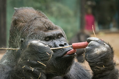 2017-01-02-13h03m01.BL7R6770 (A.J. Haverkamp) Tags: akili canonef100400mmf4556lisiiusmlens amsterdam noordholland netherlands zoo dierentuin httpwwwartisnl artis thenetherlands gorilla pobfrankfurtgermany dob16101994 nl