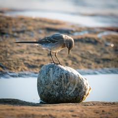 Bird and boulder (pakerholm) Tags: wagtail whitewagtail motacillaalba motacillaalbaalba motacilla sädesärla ärla sigma150600 sigma150600f563dgsports sigma150600mmf563 sigmasport sigma 150600 600 ornithology birdwatchingnikon d600 d610 nikond600 nikond610 fullframe fullformat fågelskådning ornitologi oxelösund södermanland sörmland sweden sverigebrannäs brannäsvåtmark wetlands birds bird fågel fåglar linnut lintu wildlife animals vildadjur