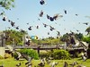Pigeons Flying (Wenchieh Yang) Tags: sony love taiwan tainan 2016 iphone365 iphone light park sun blue green sky fly dove pigeon