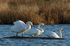 Swans (hippyczich) Tags: swans oare marshes wildlife nature nikon200500