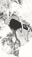 Black bird (Anne Susan Karine) Tags: blackbird birds photography birdbhotography nature naturelovers hiding safe mustarastas beautifulbird blackandwhite
