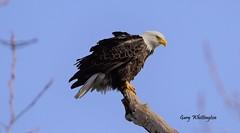Bald Eagle_4331 (Porch Dog) Tags: 2017 garywhittington kentucky nikond750 fx nikon200500mm birds feathers avian wildlife nature baldeagle mature