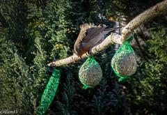 Très rare de le voir après les boules de graisse. (Crilion43) Tags: arbres france véreaux divers réflex rougegorge nature paysage jardin centre oiseaux canon objectif tamron 1200d cher bleue brouillard charbonnière herbe mésange sapin thuya