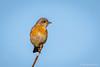 Western Bluebird (f) (Bob Gunderson) Tags: birds bluebirds california cypresslawn northerncalifornia peninsula sanmateocounty sialiamexicana thrushes westernbluebird