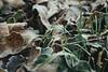 Frozen Leaves (Jasmine Charman) Tags: photographer photography winter nikonphotography nikonphotographer nikond3300 nikon d3300 leaves frozenleaves uk england brighton eastsussex sussex