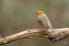 Rougegorge familier (Tifaeris) Tags: erithacusrubecula europeanrobin muscicapidés passériformes rougegorgefamilier bird oiseau