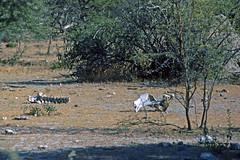 Etosha Nationalpark - Knochen (astroaxel) Tags: namibia etosha nationalpark knochen