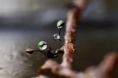 impurities... (AngharadW) Tags: water droplet macro impurities dwr twig leaf angharadw cymru wales caerdydd cardiff