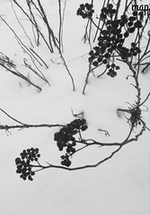 Life goes on... (Marcia Portess-Thanks for a million+ views.) Tags: photoart abstract invierno winter blancoynegro blackwhite byn bw branches sticks plants berries snow lifegoeson map marciaportess marciaaportess