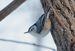 White-breasted Nuthatch (av8s) Tags: whitebreastednuthatch nuthatch birds songbirds perchingbirds wildlife nature photography nikon d7100 sigma 120400mm pennsylvania pa