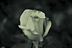 for Emma...🌹🐾🐱 (martinap.1) Tags: flower rose blume black white schwarz weis sw bw 7dwf