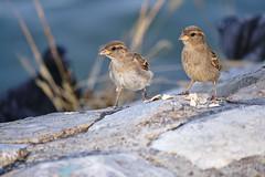 Sparrow team (salaminijo) Tags: birds ptice vrabac sparrow vrale nature priroda outdoor garden bašta light detail day summer sunny beauty canon eos ef55250mm belgrade beograd zemun ser srbija